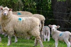 象绵羊喜欢羊羔 免版税库存图片