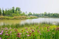象草和开花湖岸在晴朗的春天 库存照片
