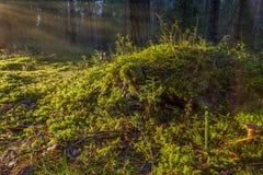象草的小山在杉木森林郊外  免版税图库摄影