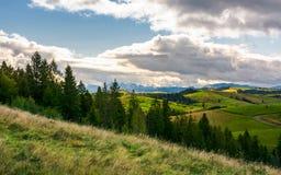 象草的山坡的云杉的森林在山 图库摄影