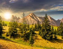 象草的山坡的云杉的森林在日落的tatras 免版税库存照片