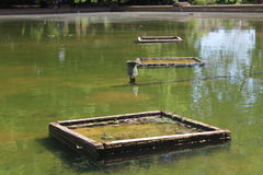 象草的池 免版税库存图片