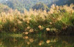 象草的沼泽地 免版税库存照片