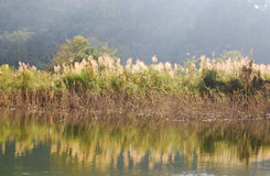 象草的沼泽地 免版税图库摄影
