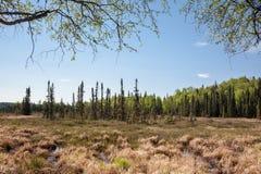 象草的沼泽地 库存图片