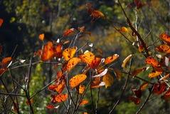 象蝴蝶的红色叶子 库存照片