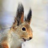 画象逗人喜爱的蓬松灰鼠 免版税库存图片