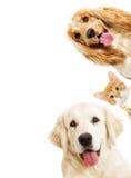 画象金毛猎犬和小猫 库存图片