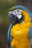 画象青和黄色金刚鹦鹉(Ara ararauna),当修饰用羽毛装饰时 库存图片
