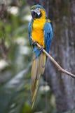 画象青和黄色金刚鹦鹉(Ara ararauna) 库存照片