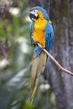画象青和黄色金刚鹦鹉(Ara ararauna) 库存图片