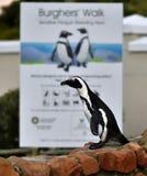 画象非洲企鹅(蠢企鹅demersus)在冰砾殖民地 图库摄影