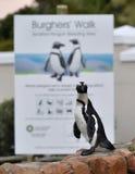 画象非洲企鹅(蠢企鹅demersus)在冰砾殖民地 免版税库存照片