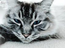 画象顶头特写镜头 家谱Ragdoll封印点天猫座 免版税图库摄影