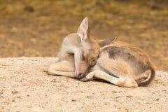 画象鹿(温暖的口气)与困行动 免版税库存图片