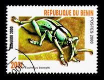 象鼻虫(Euphorus bernardtii),甲虫serie,大约2000年 免版税库存照片