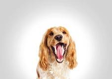 画象,滑稽的狗西班牙猎狗 免版税库存图片