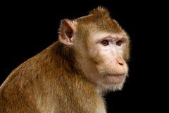 画象猴子,长尾的短尾猿,螃蟹吃 免版税图库摄影