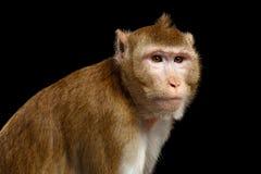画象猴子,长尾的短尾猿,螃蟹吃 库存照片