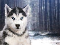 画象黑白多壳的狗在冬天森林背景中  图库摄影
