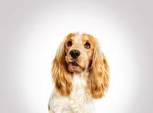 画象滑稽的狗西班牙猎狗 免版税图库摄影