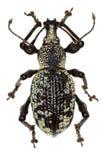 象鼻虫在白色背景的Otiorhynchus corruptor 库存图片