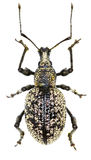 象鼻虫在白色背景- Otiorhynchus corruptor主人的Otiorhynchus corruptor, 1789 免版税库存照片