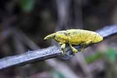 象鼻虫或象甲在大西洋沿岸森林 免版税库存照片