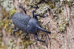 象鼻虫或象甲在大西洋沿岸森林 免版税库存图片