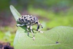 象鼻虫或象甲在大西洋沿岸森林 库存图片