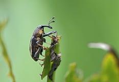 象鼻虫或象甲在大西洋沿岸森林 库存照片