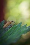 象鼻虫甲虫 库存照片