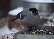象麻雀的灰色小鸟保留木头在额嘴 库存照片
