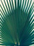 象peacock& x27的棕榈事假; s尾巴 免版税图库摄影
