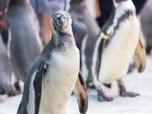 画象penquins在动物园里 免版税库存照片