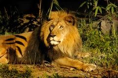 豪华国王的狮子 库存图片
