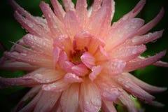 豪华浅粉红色的庭院大丽花花 库存照片