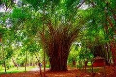 豪华的厚实和绿色竹树丛的看法在庭院创造不可思议的背景 免版税库存照片