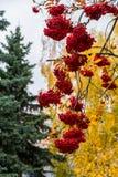 豪华的束成熟红色ashberry在秋天背景 免版税图库摄影