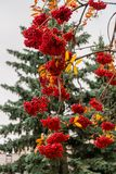 豪华的束成熟红色ashberry在秋天背景 库存照片
