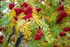 豪华的束成熟红色ashberry在金黄秋天期间 免版税库存照片