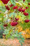 豪华的束成熟红色ashberry在金黄秋天期间 图库摄影
