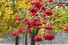 豪华的束成熟红色ashberry在金黄秋天期间 库存图片