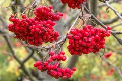 豪华的束成熟红色ashberry在金黄秋天期间 免版税库存图片