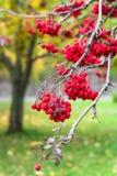 豪华的束成熟红色ashberry在金黄秋天期间 库存照片