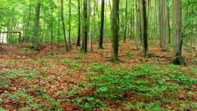 豪华的植被,树在森林,横过喀尔巴阡山脉里 图库摄影