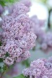 豪华的淡紫色灌木 免版税库存图片