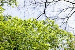 豪华的竹子叶子 库存图片