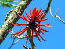豪华的红色花 (Erythrina mulungu) 免版税图库摄影
