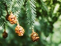 豪华的绿色具球果加拿大毒草名(芹叶钩吻canadensis) 库存图片